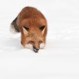 Den röda räven (Vulpesvulpes) traver framåtriktat med kopieringsutrymme Royaltyfria Bilder