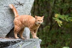 Den röda randiga hemlösa katten talar jamar parkerar den röda katten för nThe som går i arkivfoton