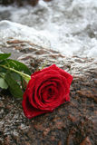 den röda romantiker steg Fotografering för Bildbyråer