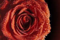 Den röda ron med bevattnar dropred Royaltyfri Bild
