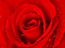 Den röda ron med bevattnar liten droppe royaltyfria bilder