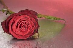 Den röda rosa blomman som ligger på, blöter ytbehandlar Arkivbilder