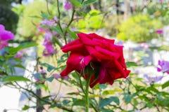 den röda rosen öppnar i Sao Paulo arkivbilder