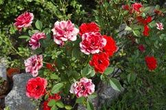 Den röda rosen blommar bakgrund i trädgården Arkivbilder