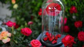 Den röda rosen blommar i den glass kupolen lager videofilmer