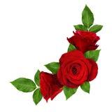 Den röda rosen blommar i hörnordning Arkivbild