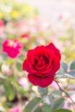 Den röda rosen blommar i trädgården, färgrik ros Royaltyfri Foto