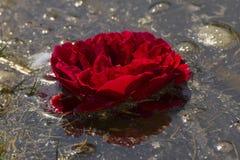 Den röda rosen blommar i vatten arkivfoton