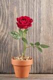 Den röda rosen blommar på en träbakgrund Royaltyfria Bilder