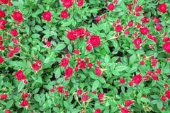 Den röda rosen har ett grönt blad arkivfoto