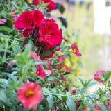 Den röda rosen i blom med gräsplan omgav och gulingblommor i en oskarp bokehbakgrund Arkivbild