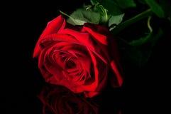 Den röda rosen i bottenlägetangent sköt i studio med konstgjorda ljus Arkivbilder