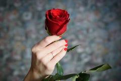 Den röda rosen i den kvinnliga handen Fotografering för Bildbyråer