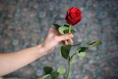 Den röda rosen i manhanden för alla Arkivfoton