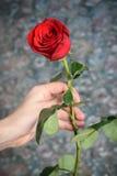Den röda rosen i manhanden för alla Arkivbild