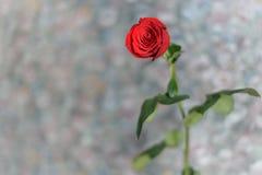Den röda rosen i på den gråa bakgrunden Royaltyfri Bild