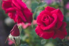 Den röda rosen i den trädgårds- bakgrunden, naturblommor steg för Arkivfoto