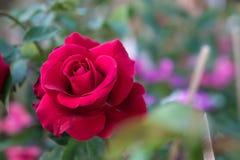 Den röda rosen i den trädgårds- bakgrunden, naturblommor steg för Royaltyfria Bilder