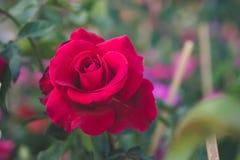 Den röda rosen i den trädgårds- bakgrunden, naturblommor steg för Royaltyfri Foto
