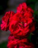 Den röda rosen med något vatten tappar på det, valentindag Arkivfoto