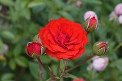 Den röda rosen och tre steg knoppar Arkivfoto