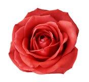 Den röda rosen på en vit isolerade bakgrund med den snabba banan Inget skuggar closeup För design textur, gränser, ram, bakgrund arkivbilder