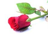 Den röda rosen som ner ligger, stänger sig upp. Fotografering för Bildbyråer