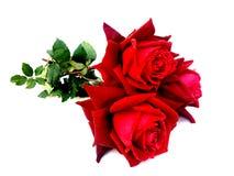 Den röda rosen steg isolerat på vit bakgrund royaltyfria bilder