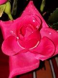 Den röda rosen!! Symbolet av förälskelse!! & x28; Blomma & x29; arkivfoton