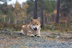 Den röda shibainuvalpen i den Norge hösten färgar royaltyfria bilder