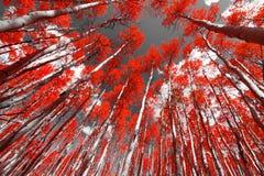 Den röda skogen Fotografering för Bildbyråer