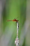 Den röda sländan klamra sig fast intill en stam Fotografering för Bildbyråer