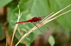 Den röda sländan sitter på det torra gräset arkivbild