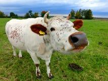 Den röda spräckliga kon med tokigt tystar ned Royaltyfria Bilder