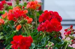 Den röda trädgårds- pelargon blommar i kruka Royaltyfri Bild