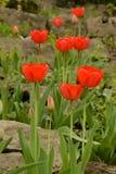 Den röda tulpan som kliver stenar vaggar in, trädgården Royaltyfri Fotografi