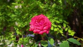 Den röda ursnygga blomstra rosen tände vid aftonen Arkivfoton