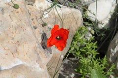 Den röda vallmo av en beiga vaggar framme royaltyfria foton