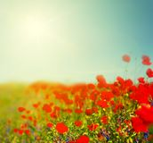 Den röda vallmo blommar bakgrund på den varma sommardagen Royaltyfri Fotografi