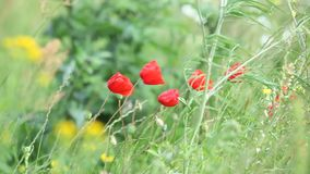 Den röda vallmo blommar på äng arkivfilmer