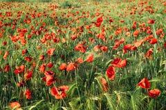 Den röda vallmo blommar på ett vetefält i sommartid Royaltyfri Bild