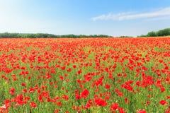 Den röda vallmo blommar på fält Arkivfoton