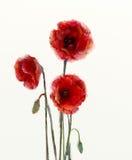 Den röda vallmo blommar vattenfärgmålning stock illustrationer