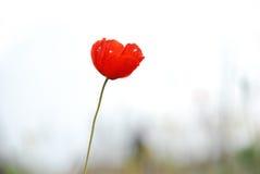 den röda vallmon single Fotografering för Bildbyråer