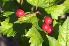 Den röda viburnumen bär frukt hängningar på en grupp Arkivbilder