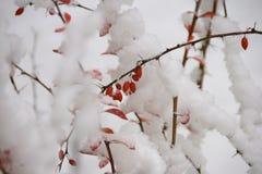Den röda vintern bär frukt under snön Arkivbild
