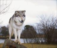 Röd wolf Fotografering för Bildbyråer