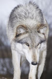 Röd wolf royaltyfri bild