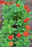 Den röda zinniaen blommar att blomma royaltyfria bilder