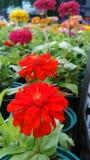 Den röda zinniaen blommar i trädgården Arkivfoto